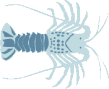 Spiny Lobster (California)
